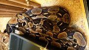 Boa Constrictor Babys 8 Tiere