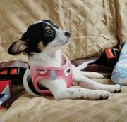 Amely chihuahua
