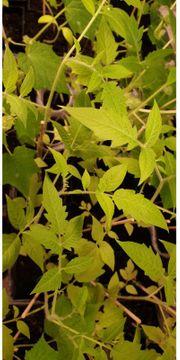 Junge Bio-Tomaten- -Gurken- und -Zucchinipflanzen
