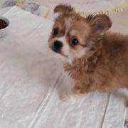 Schöne Chihuahua Welpen zur Verfügung