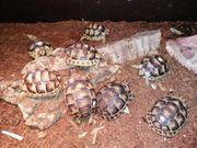 Breitrandschildkröten - Babys NZ 2020