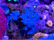 Discosoma sp Yoshi - Weichkorallen Meerwasser