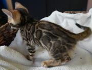 Sehr verschmuste wunderschöne Bengal Kitten
