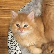 Sibirische Wald- Katze Kitten