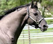 Deckanzeige Grullo Quarter Horse Hengst