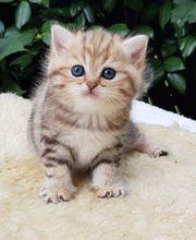 Reinrassige BLH BKH Kitten mit