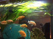 Orangegelbe Maulbrüter Malawi-Buntbarsche Fische
