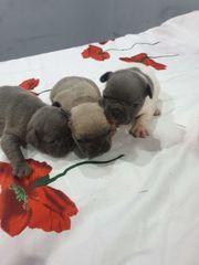 Französische BulldoggenFranzösische Bulldoggen