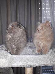 BLH Kitten Geimpft und abgabebereit