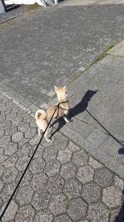 Deckrüde Kurzhaar Chihuahua