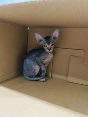 Sphynx weibliches Kitten frei