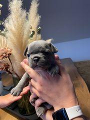 Französische Bulldogge Welpen Blau Ahnentafel