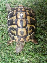 Hermanni hermanni Griechische Landschildkröten Weibchen