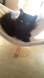Suche katzenbaby kitten