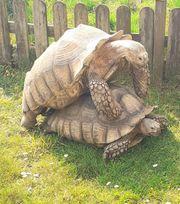 Spornschildkröten zuchtpaar
