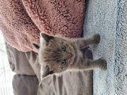 Süße BKH Kurzhaar Kitten
