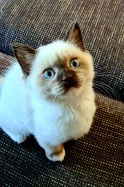 BKH Ragdoll Kätzchen mit blauen