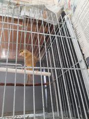 Deutsche Haube Isabel kanarienvogel