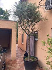 Olivenbaum 3 20 m hoch