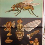 Naturwissenschaftliches Poster Fliege