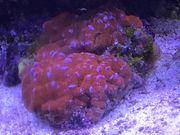 Meerwasser Koralle Acanthastrea Rot