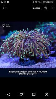 Ich kaufen koralle lps euphillie