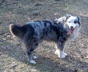 Deckrüde Australian Shepherd Blue-Merle