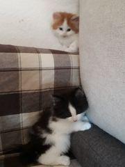 Norwegische Waldkatzen Kitten reinrassig