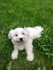 Malteser Hündin 3 Monate alt