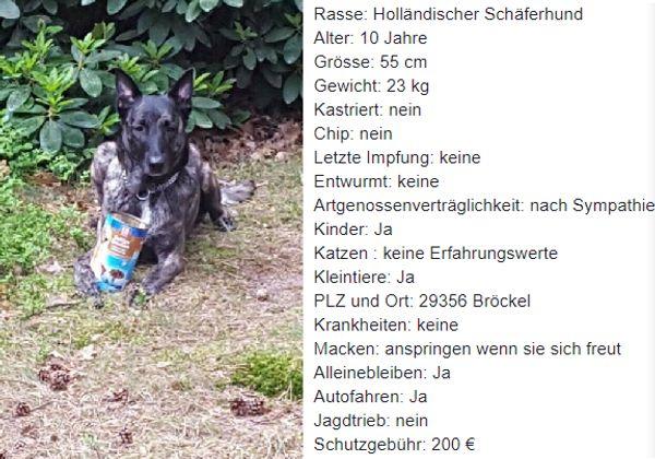 Nana Hollandischer Schaferhund In Brockel Hunde Kaufen Und Verkaufen Uber Private Kleinanzeigen
