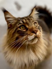 Maine Coon Katerle