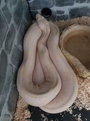 Albino Boa 1 0 Kahl