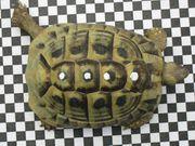Griechische Landschildkröte Schildkröte männlich 9