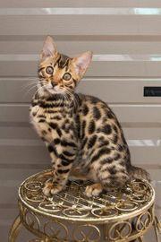Bengal kitten Junge Abgabebereit Stammbaum
