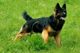 Bild 4 - Deckanzeige Altdeutscher Schäferhund - Nordhalben