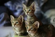 Savannah Kitten F5