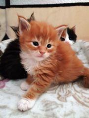 Maine Coon Kittenkaterchen mit Stammbaum