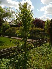 Kirschbaum Kirschbäumchen Baum Bäumchen Kirsche