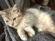 Wunderschön Bkh Kitten abgabebereit
