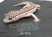RABATT Leopardgeckos Mack Super Snow