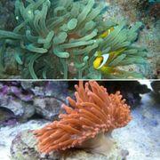 Meerwasser Blasenanemonen rot grün ab 30