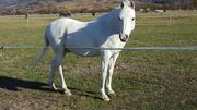 Biete Reitbeteiligung an Araber-Welsh Ponywallach