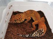 5 Leopardgeckoweibchen Terrarium