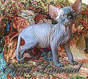 Sphynx Kitten mit Stammbaum