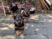Australian-Terrier Welpen
