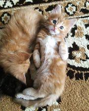 Wunderschöne Maine Coon Kitten