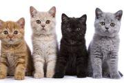 Zwei BKH Kitten gesucht