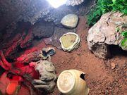 Leopardgeckos mit Terrarium und viel