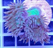 Bartkoralle Meerwasser Koralle Aquarium