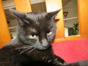 schwarze liebe Katze kastriert 2